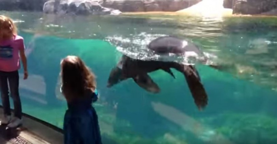 Little girl and sea lion play tag. The girl falls...